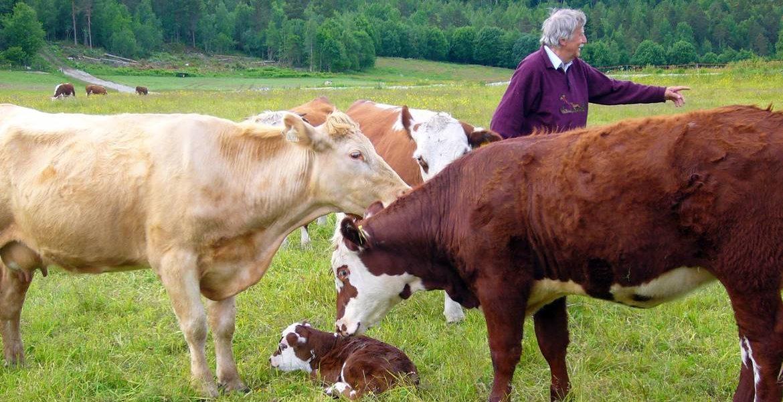 Rinder auf der Farm
